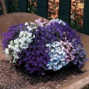 Lobelia Riviera Mix - Appx 3000 seeds
